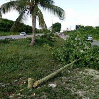 Ambientalistas y asociaciones civiles denuncian nueva tala de árboles endémicos; hasta la fecha van alrededor de 500 ejemplares derribados sin que autoridades municipales den con los responsables