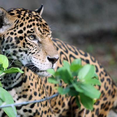 La UT de la Riviera Maya pide a sus alumnos tomar medidas precautorias por avistamiento de jaguar en el campus; autoridades académicas ya dieron aviso a la Profepa