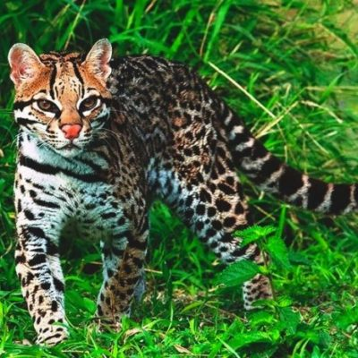 Profepa descarta la presencia de jaguar en el campus de la UT Riviera Maya; podría tratarse de un ocelote, dice la dependencia