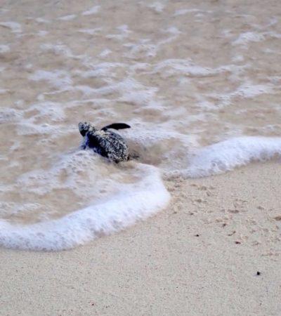 Disminuye presencia de tortugas marinas en playas de Solidaridad por arribo masivo de sargazo
