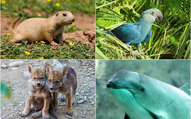 RIESGO DE EXTINCIÓN EN MÉXICO: Ajolote, vaquita marina, lobo gris, guacamaya roja y perrito de la pradera