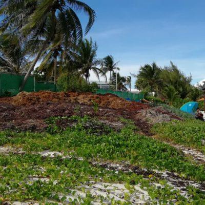 Por falta de vigilancia de autoridades en las playas, hoteles continúan enterrando y acumulando sargazo donde no afecte su concesión, en Playa del Carmen