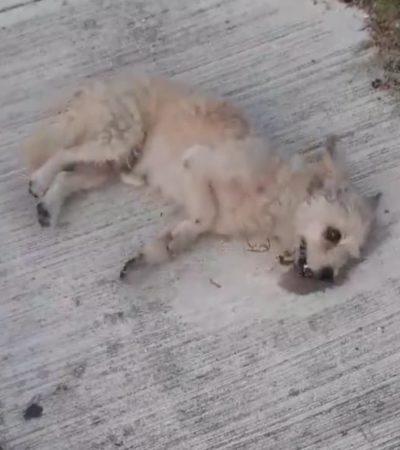 Envenenan a varias mascotas en el fraccionamiento Las Palmas de Playa del Carmen; autoridades todavía no investigan los hechos