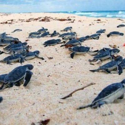 Inicia cobro por ingreso al santuario de la tortuga marina Xcacel-xcacelito