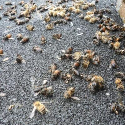 Especialistas determinarán las causas de mortandad de abejas en JMM