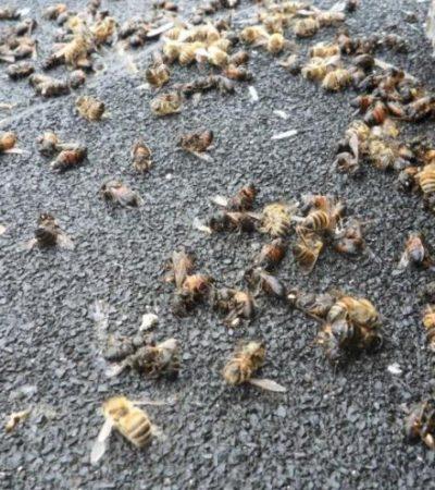 Especialistas determinarán las causas de mortandad de abejas en JMM