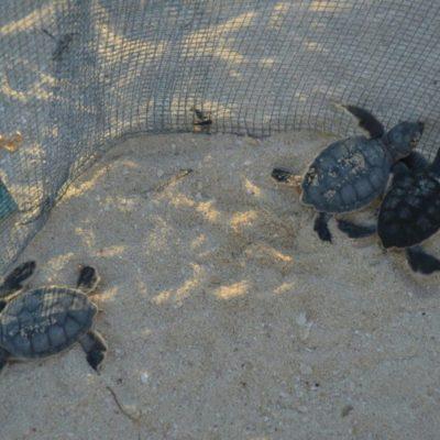Reportan disminución de desove de tortugas marinas en Isla Mujeres