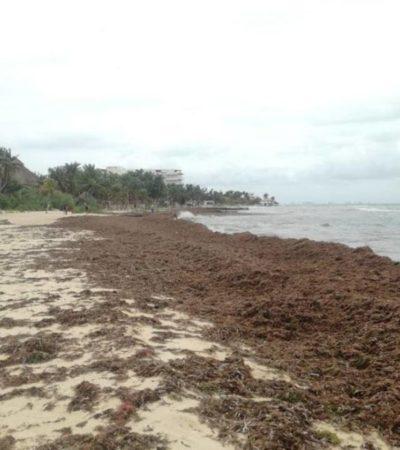 Por primera vez en el año arriba sargazo a Isla Mujeres