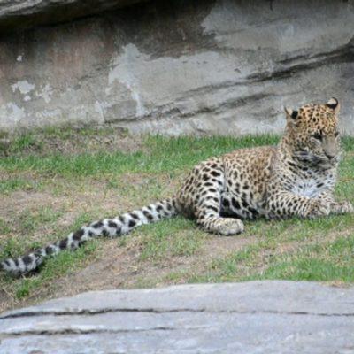 Amenaza corrupción a especies animales en Veracruz; por 60 mil pesos venden un leopardo