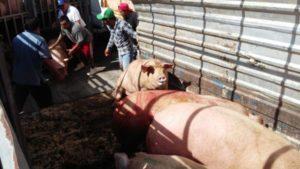 'TRAGEDIA' EN YUCATÁN…. ESCASEARÁ LA COCHINITA DEL DOMINGO: Desata volcadura de tráiler muerte de cerdos y persecución de sobrevivientes en pleno periférico de Mérida