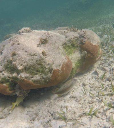 Detectan en el Caribe mexicano extraña plaga que enferma al coral