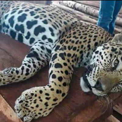 Habrían asesinado a jaguar en Escárcega, Campeche, según información de redes sociales