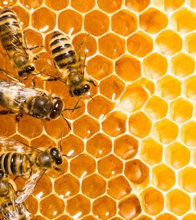 Alarmante baja producción de miel en Yucatán; colmenas pasaron de producir 50 kilos a solo a 5.5