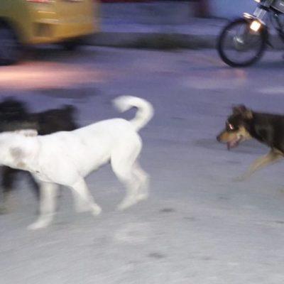 Detectan nuevo brote de moquillo en perros rescatados en Cozumel
