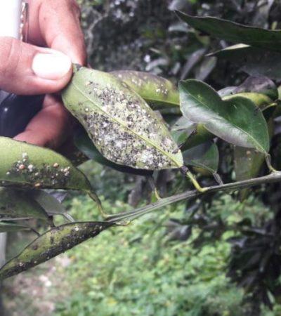 Ante afectación por plaga en los cultivos de cítricos, expertos enseñan a campesinos cómo combatirla con hongos, en José María Morelos