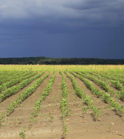 Ignoran mandato legal de la SCJN contra soya transgénica en Campeche; cultivan 120 mil hectáreas