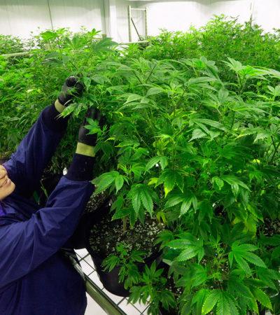 Propone Morena un mercado de mariguana en México regulado por un 'Instituto del Cannabis'