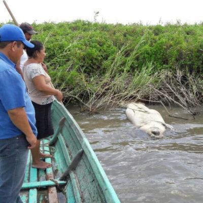 Concluyen que intoxicación alimenticia por algas nocivas mató a manatíes en Tabasco