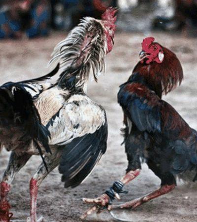 Valida SCJN prohibición de peleas de gallos en Veracruz; expresión cultural no justifica maltrato