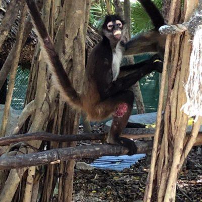 Detectan ejemplares de mono araña heridos en Xcalacoco; ambientalistas señalan que perros pudieron ocasionar las lesiones