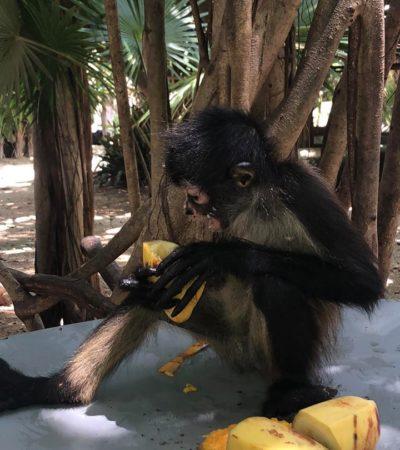 Continúa recuperación del mono araña, con cinco nacimientos en la zona norte de Playa del Carmen