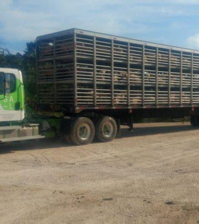 Inician desalojo de los 30 mil cerdos que permanecían en la megagranja de Homún, Yucatán