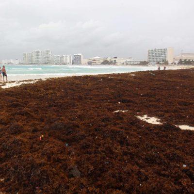 Pronostica Universidad de Florida otro año de llegada masiva de sargazo al Caribe mexicano y advierten daños al ecosistema y al turismo