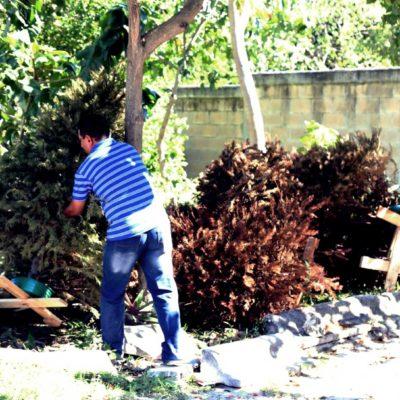 Continúa programa de acopio de árboles navideños en Isla Mujeres