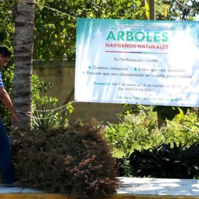Concluye campaña de recolección de árboles navideños en Isla Mujeres