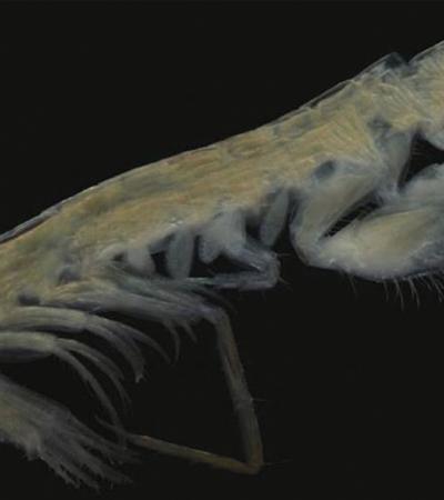 Encuentran nueva especie de crustáceo en aguas de Yucatán; lo nombran 'Gammaropsis elvirae'