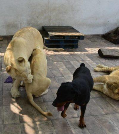 Rescata Profepa a leones en domicilio de la CDMX