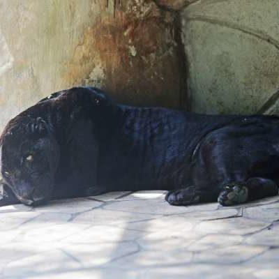 Murió jaguar 'El Negro' del Parque-Museo La Venta, en Tabasco; cumpliría 24 años a fines de mayo