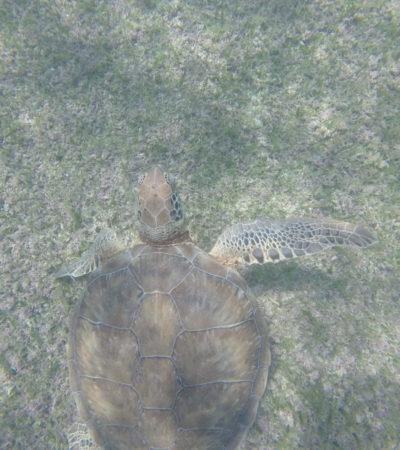Recala ejemplar de tortuga marina sin vida en Akumal; se desconocen las causas de la muerte