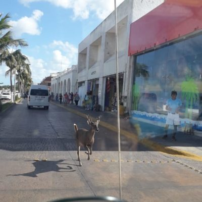 Deambula venado por centro de Cozumel