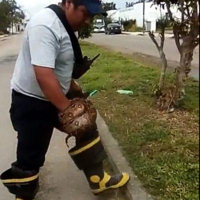Atrapan víbora en centro de Chetumal