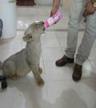 Profepa suspende negocio de regidor suplente que explotaba a cachorro de león en la Quinta Avenida