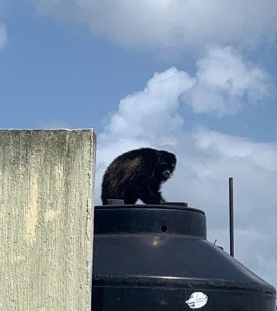 Autoridades rescatan a ejemplar de mono aullador en el fraccionamiento Palmas 1; es el caso 35 de fauna silvestre en zona urbana en lo que va del año