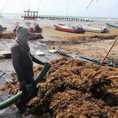 Ante recale masivo de sargazo, trabajadores de la Zofemat aplican nuevo método para recoger el alga en Playa del Carmen