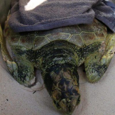 Registran varamiento atípico de tortuga marina en Playa del Carmen