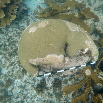 'SÍNDROME BLANCO': Una rara enfermedad está matando el arrecife mesoamericano en Quintana Roo