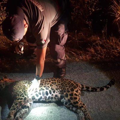 Jaguar atropellado al sur de Playa del Carmen tenía marcas de escopetazos