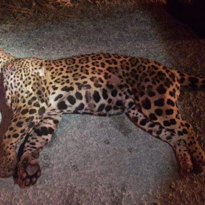 Muere otro jaguar atropellado en la Riviera Maya
