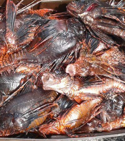 Disminuye captura de pez león en Cozumel; pescadores sospechan que se ha controlado la reproducción de la especie