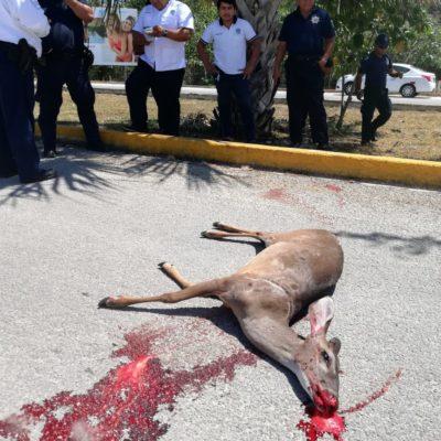 Taxista arrolla a un venado que le salió al paso en la carretera al sur de Playa del Carmen