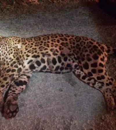 Autoridades presentarán proyecto ante la SCT para evitar más atropellamientos de fauna silvestre en Playa del Carmen