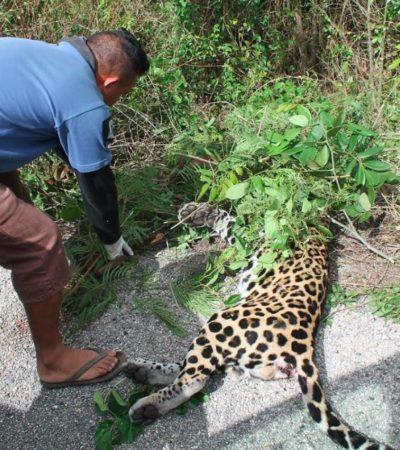Atropellan a otro jaguar, ahora en carretera a Kantunilkín