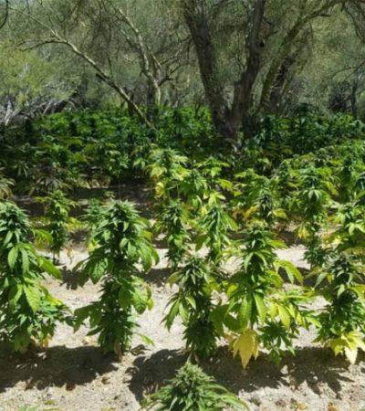 Buscaban a mujer extraviada y encuentran plantíos de mariguana en 'El Picacho del Diablo' en BC