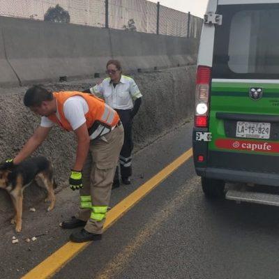 Rescata personal de Capufe a un perro que caminaba por la carretera México-Puebla