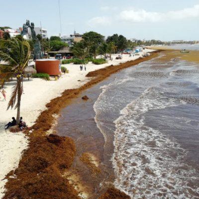 SARGAZO DEJA PLAYAS VACÍAS: Se agudiza problema del alga en Playa del Carmen, donde negocios reportan ocupación del 30% en fin de semana