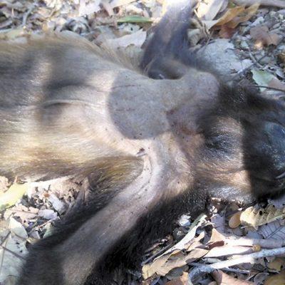 Mueren monos aulladores por sequía prolongada y altas temperaturas en Veracruz